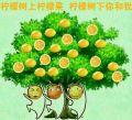 柠檬树上柠檬果,柠檬树下你和我.jpg