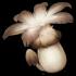 无背景-慕风蘑菇.png