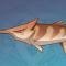 摆设:斗棘鱼.png