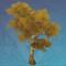 金叶剑骨树.png