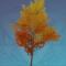 金叶珍枝树.png